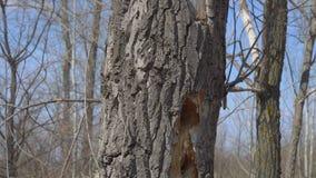 Τρύπες δρυοκολαπτών στο ξηρό δέντρο απόθεμα βίντεο