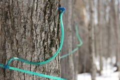 τρύπημα σιροπιού σφενδάμνο Στοκ Φωτογραφίες