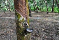 Τρύπημα του λατέξ από ένα λαστιχένιο δέντρο Στοκ φωτογραφία με δικαίωμα ελεύθερης χρήσης
