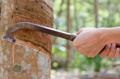 Τρύπημα του λατέξ από ένα λαστιχένιο δέντρο. Στοκ Εικόνα
