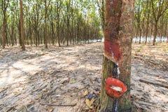 Τρύπημα του λατέξ από ένα λαστιχένιο δέντρο Στοκ εικόνες με δικαίωμα ελεύθερης χρήσης