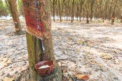 Τρύπημα του λατέξ από ένα λαστιχένιο δέντρο Στοκ Εικόνες