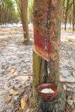 Τρύπημα του λατέξ από ένα λαστιχένιο δέντρο Στοκ φωτογραφίες με δικαίωμα ελεύθερης χρήσης