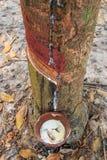 Τρύπημα του λατέξ από ένα λαστιχένιο δέντρο Στοκ Φωτογραφίες