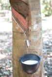 Τρύπημα του λατέξ που στάζει στο μαύρο πλαστικό φλυτζάνι από το λαστιχένιο δέντρο στη βόρεια Ταϊλάνδη Στοκ εικόνες με δικαίωμα ελεύθερης χρήσης