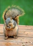 τρώγοντας σκίουρος που παρακολουθείται θαμνώδης στοκ φωτογραφίες