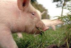 Τρώγοντας το χοιρίδιο κοντά επάνω στοκ φωτογραφία