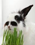 τρώει το κουνέλι χλόης Στοκ Εικόνες