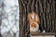 τρώει το σκίουρο Στοκ εικόνα με δικαίωμα ελεύθερης χρήσης