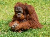 τρώει το χέρι προσώπου κρατά το ζωολογικό κήπο σκέψης πιθήκων στοκ εικόνες