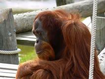 τρώει το χέρι προσώπου κρατά το ζωολογικό κήπο σκέψης πιθήκων στοκ φωτογραφία με δικαίωμα ελεύθερης χρήσης