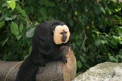 τρώει το χέρι προσώπου κρατά το ζωολογικό κήπο σκέψης πιθήκων Στοκ φωτογραφίες με δικαίωμα ελεύθερης χρήσης
