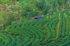 Τσάι βουνοπλαγιών στην Ταϊλάνδη που ακολουθείται από τα βουνά Στοκ φωτογραφία με δικαίωμα ελεύθερης χρήσης