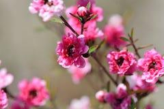 Τσάι-δέντρο Manuka Στοκ εικόνες με δικαίωμα ελεύθερης χρήσης