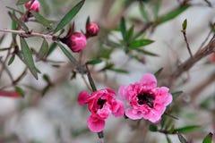 Τσάι-δέντρο Manuka Στοκ Εικόνες