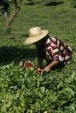 τσάι επιλογής Στοκ εικόνες με δικαίωμα ελεύθερης χρήσης