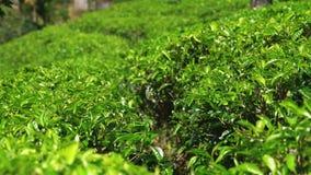τσάι επιλογής στη φυτεία, τον Ιανουάριο του 2016 σε Nuwara Eliya, Σρι Λάνκα απόθεμα βίντεο