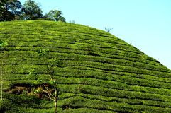 τσάι κήπων Στοκ Εικόνες