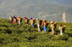 τσάι κήπων Στοκ Φωτογραφία