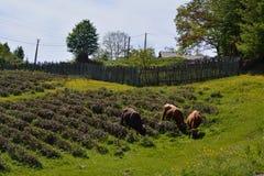 Τσάι και βοοειδή Στοκ Φωτογραφίες