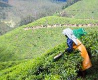τσάι καλλιέργειας στοκ εικόνα με δικαίωμα ελεύθερης χρήσης