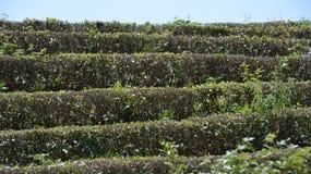 Τσάι στους θάμνους Στοκ Εικόνες