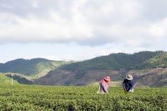 Τσάι συγκομιδής εργαζομένων στη φυτεία σε Chiang Rai, Ταϊλάνδη Στοκ Εικόνες