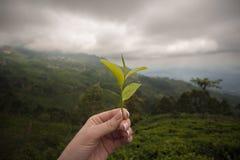 Τσάι της Σρι Λάνκα Κεϋλάνη Στοκ Εικόνες