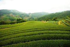 τσάι τοπίων πεδίων Στοκ Φωτογραφία