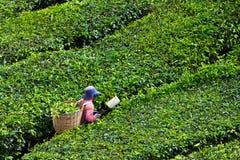 τσάι φυτειών ορεινών περι&omicro Στοκ φωτογραφία με δικαίωμα ελεύθερης χρήσης