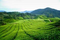 τσάι φυτειών ορεινών περι&omicro Στοκ εικόνα με δικαίωμα ελεύθερης χρήσης