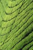 τσάι φυτειών προτύπων γραμμώ&n Στοκ εικόνα με δικαίωμα ελεύθερης χρήσης