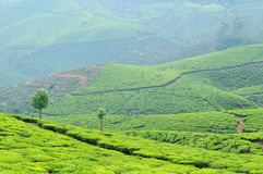 τσάι φυτειών της Ινδίας Κε& Στοκ Φωτογραφία