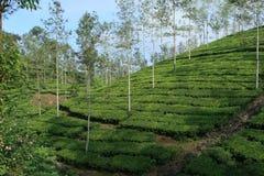 τσάι φυτειών της Ινδίας στοκ φωτογραφία
