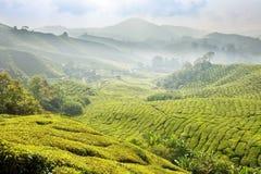 τσάι φυτειών της Μαλαισία&si Στοκ εικόνα με δικαίωμα ελεύθερης χρήσης
