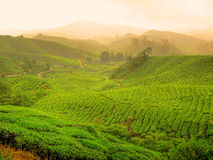 τσάι φυτειών της Μαλαισία&sig Στοκ Εικόνες