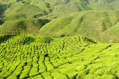 τσάι φυτειών της Μαλαισία&sig Στοκ φωτογραφία με δικαίωμα ελεύθερης χρήσης
