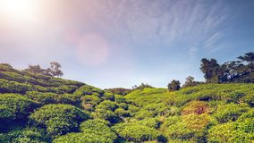 τσάι φυτειών της Μαλαισία&sig 4k, 25fps φιλμ μικρού μήκους