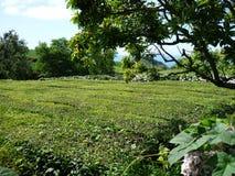 τσάι φυτειών στοκ φωτογραφία με δικαίωμα ελεύθερης χρήσης