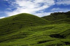 τσάι φυτειών Στοκ φωτογραφίες με δικαίωμα ελεύθερης χρήσης