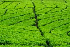 τσάι φυτειών Στοκ εικόνες με δικαίωμα ελεύθερης χρήσης
