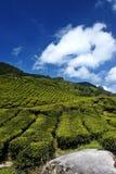 τσάι φυτειών Στοκ Φωτογραφία
