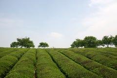 τσάι φυτειών Στοκ Φωτογραφίες