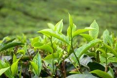 τσάι φύλλων Στοκ φωτογραφίες με δικαίωμα ελεύθερης χρήσης