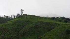 Τσάι Laogi Στοκ Φωτογραφίες