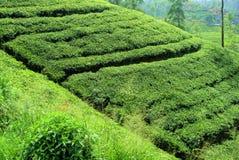 τσάι sri φυτειών lanka στοκ εικόνες
