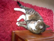 Τσέστερ η τιγρέ γάτα στοκ εικόνες