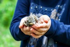 Τσίχλα τραγουδιού νεοσσών στα χέρια του παιδιού Στοκ Φωτογραφία