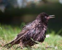 Τσίχλα στη χλόη το πουλί Στοκ Φωτογραφίες