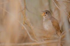 Τσίχλα Nightingale Στοκ Εικόνα